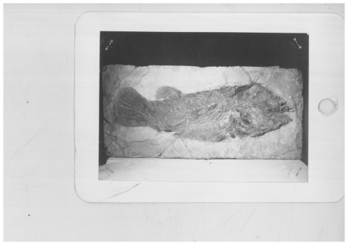 fossile -  ( VESTENANOVA , VR ) VERONA (VERONA)